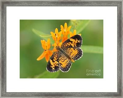 Pearl Crescent On Butterfly Weed Flowers 2 Framed Print