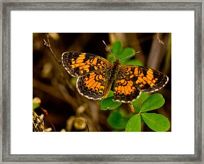 Pearl Cresent Butterfly Framed Print by Barry Jones