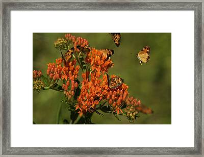 Pearly Crescentpot Butterflies Landing On Butterfly Milkweed Framed Print by Daniel Reed