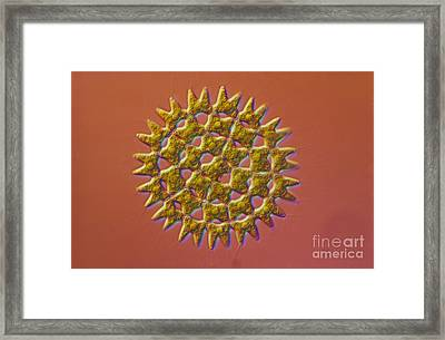 Pediastrum Sp. Algae, Lm Framed Print by M. I. Walker