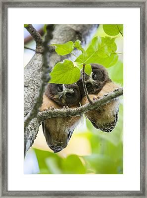 Peek-a-boo Fledglings Framed Print by Tim Grams