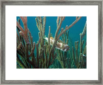 Peek-a-puffer Framed Print by Kimberly Mohlenhoff