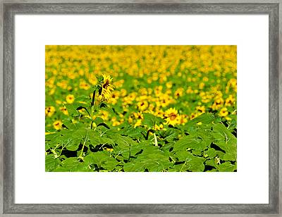 Peeking Above  Sea Of Yellow Framed Print by Colleen Coccia