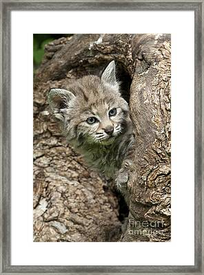 Peeking Out - Bobcat Kitten Framed Print