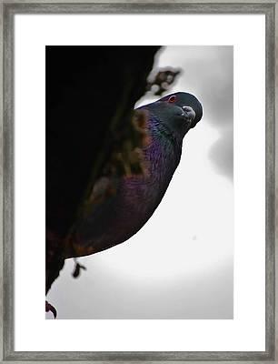 Peeking Pigeon Framed Print