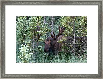 Framed Print featuring the photograph Peeking Through The Spruce by Doug Lloyd