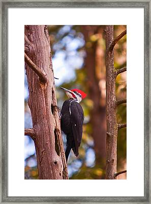 Framed Print featuring the photograph Peliated Woodpecker by Josef Pittner
