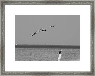 Pelican Attack Framed Print by Herman Boodoo