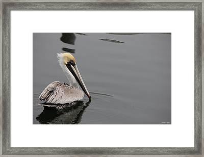 Pelican Beauty Framed Print by Deborah Hughes