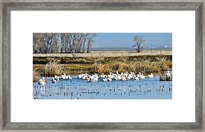 Pelican Convention Framed Print