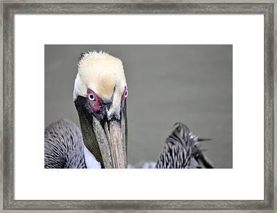 Pelican Eyes Framed Print by Teresa Blanton