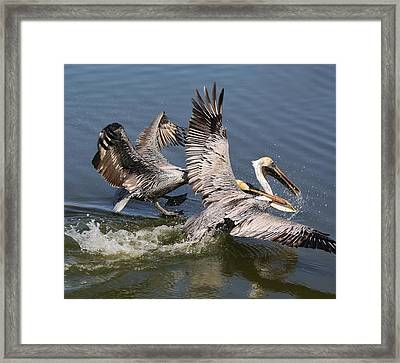 Pelican Fight Framed Print by Paulette Thomas