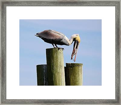 Pelican Fishing Framed Print by Paulette Thomas