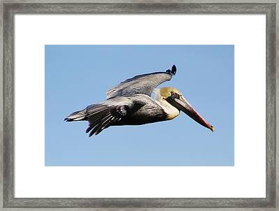 Pelican Flying High Framed Print by Paulette Thomas