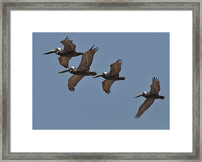 Pelican Foursome - C4004a Framed Print by Paul Lyndon Phillips
