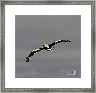 Framed Print featuring the photograph Pelican In Flight 2 by Blair Stuart