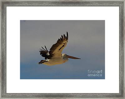 Pelican In Flight 5 Framed Print by Blair Stuart