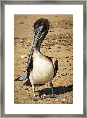 Pelican On Beach In Mexico Framed Print by Elena Elisseeva