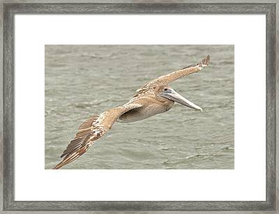 Pelican On The Water Framed Print by Rick Frost