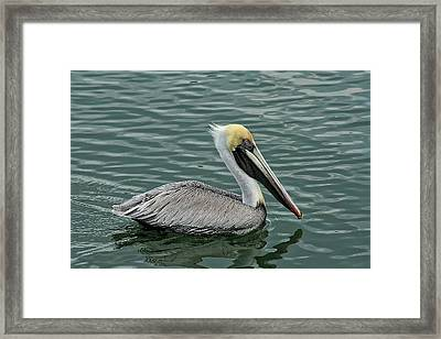 Pelican Out For A Swim Framed Print