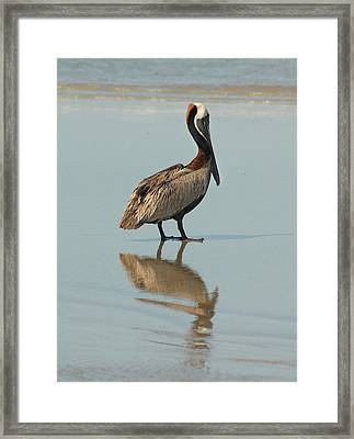 Pelican Reflections Framed Print by Cindy Haggerty