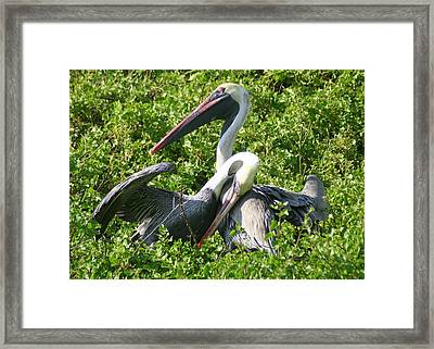 Framed Print featuring the photograph Pelican Romance by Laurel Talabere