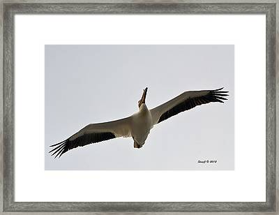 Framed Print featuring the photograph Pelican Soaring by Stephen  Johnson