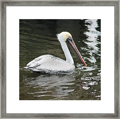 Pelican Solo Framed Print by Suzanne Gaff
