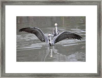Pelican Span Framed Print by Teresa Blanton