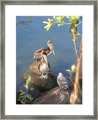 Pelican Stand Off Framed Print