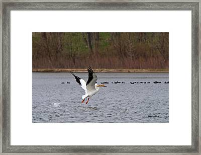 Framed Print featuring the photograph Pelican Take-off by Stephen  Johnson
