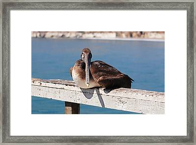 Pelican Taking A Break Framed Print