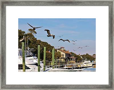 Pelicans Abound Framed Print by Paulette Thomas
