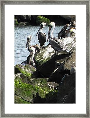 Pelicans At Hammond Framed Print