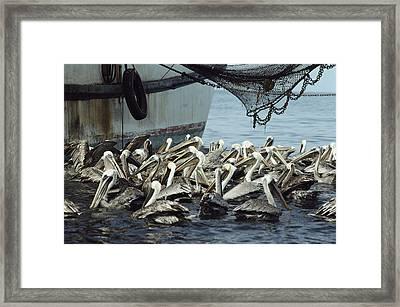 Pelicans Float In Water Near A Shrimp Framed Print by Bill Curtsinger