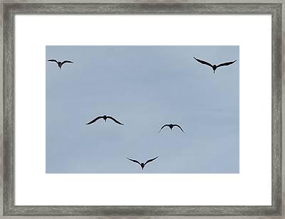 Pelicans In Flight Framed Print by Lorri Crossno