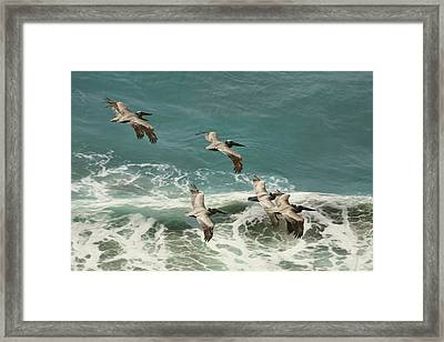 Pelicans In Flight Over Surf Framed Print by Gregory Scott