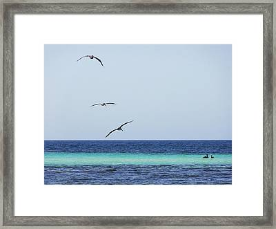 Pelicans In Flight Over Turquoise Blue Water.  Framed Print by Anne Mott