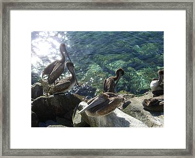 Pelicans Framed Print by Kathy Corday