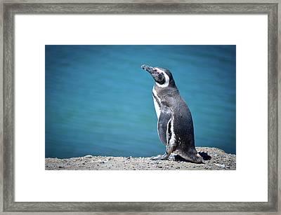 Penguin At Península Valdés Framed Print by Marcos Radicella