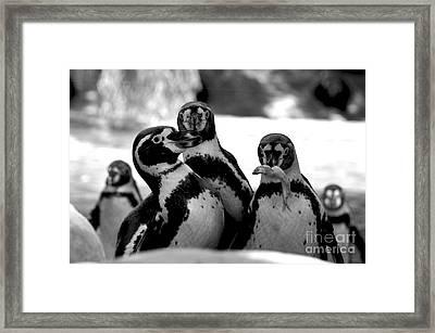 Penguins Framed Print by Pravine Chester