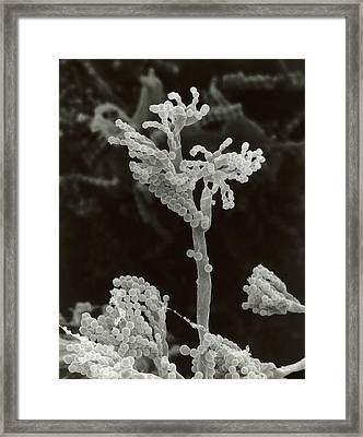 Penicillin Fungus Growing On Cheddar Cheese Framed Print