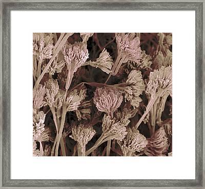 Penicillium Fruiting Bodies, Sem Framed Print
