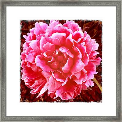 Framed Print featuring the photograph Peonie by Paul Cutright