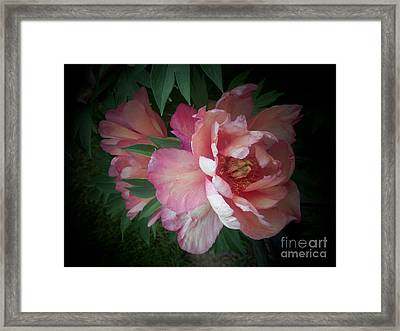 Peonies No. 8 Framed Print by Marlene Book