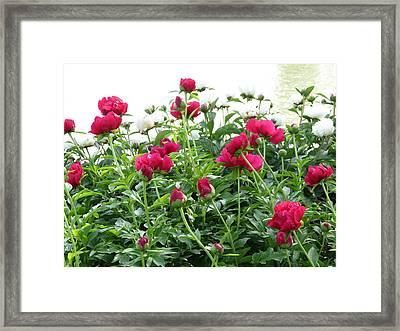 Peony Abundance Framed Print by Rebecca Overton