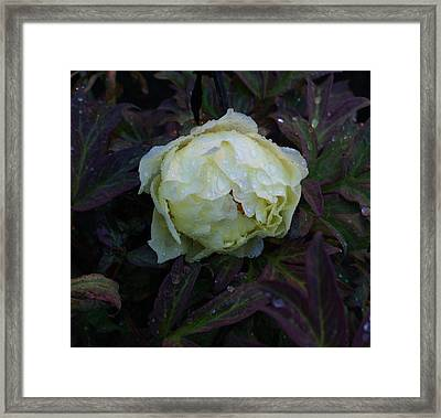 Framed Print featuring the photograph Peony After The Rain by Jerry Cahill