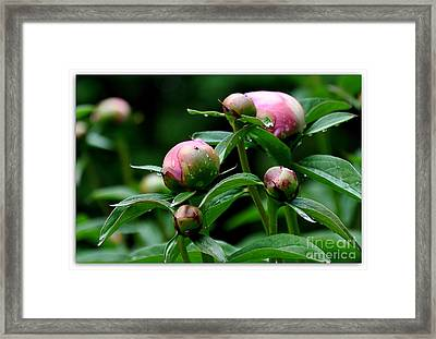 Framed Print featuring the photograph Peony Buds by Tanya  Searcy