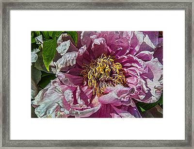 Peony Framed Print by Celso Bressan