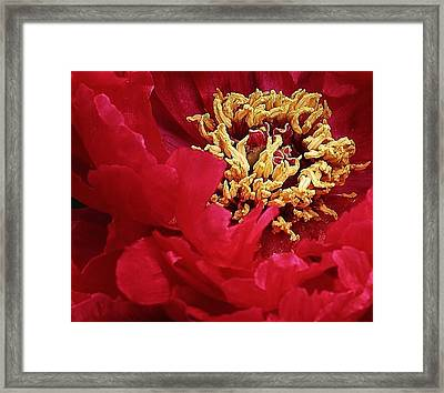 Peony Close Up Framed Print by Bruce Bley